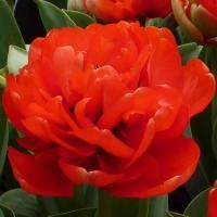 Тюльпан Abba (Абба)