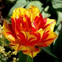 Тюльпан Monsella (Монселла)