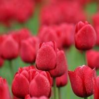 Тюльпан Red Impression (Ред Импрешн)