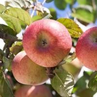 Яблоня  Супер прекос