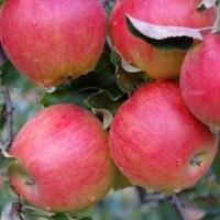 Яблоня  Джонаголд