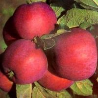 Яблоня  Джонатан