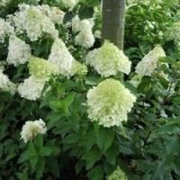 Гортензия метельчатая Грандифлора (Grandiflora)