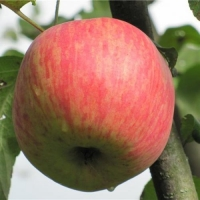 Яблоня  Бельфлёр Китайка