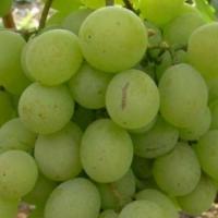 Виноград Кеша (Талисман)