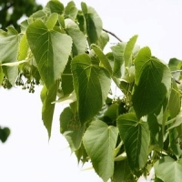 Липа кавказская (Tilia caucasica)