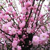 Луизеания (Миндаль трехлопастной) Веснянка