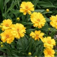 Кореопсис крупноцветковый Солнечный луч