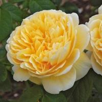 Роза английская Шарлотта (Charlotte)
