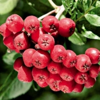 Рябина красная Рубиновая