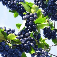 Рябина черноплодная (Арония) Викинг