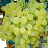 Виноград Кишмиш белый устойчивый