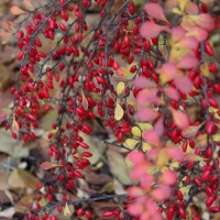 Барбарис канадский (Berberis Canadensis)