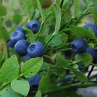 Черника Блюкроп (Bluecrop)