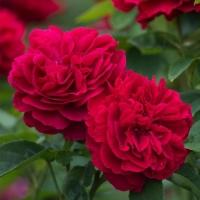 Роза английская Л. Д. Брайтвайт (Rosa L.D. Braithwaite)