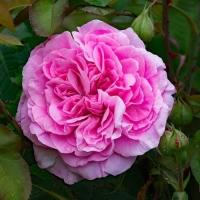 Роза английская  Гертруда Джекил (Gertrude Jekyll)