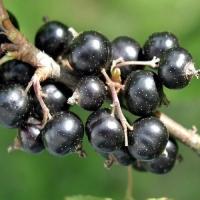 Cмородина черная Пигмей