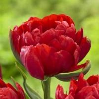 Тюльпан First Price (Ферст Прайс)
