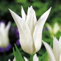 Тюльпан Treschie (Треши)