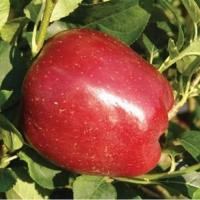 Яблоня  Старкримсон