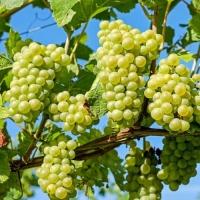 Виноград  Гечеи заматош