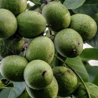 Орех Грецкий Урожайный