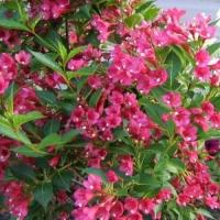 Вейгела японская (Weigela japonica)