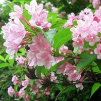 Вейгела садовая (Weigela hortensis)
