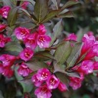 Вейгела цветущая Нана Пурпуреа (Weigela florida Рurрurеа Foliis Purpureis)