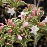 Вейгела цветущая Вариегата (Weigela florida variegata)