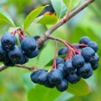 Рябина черноплодная (Арония) Мичурина