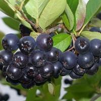 Рябина черноплодная (Арония) Хугин