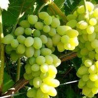 Виноград Богатырский