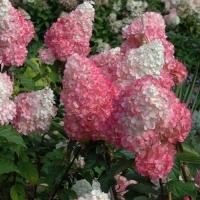 Гортензия метельчатая Пинк Даймонд (Pink Diamond)