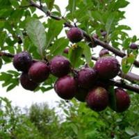 Сливово-вишневый гибрид Самоцвет