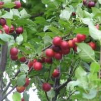 Сливово-вишневый гибрид Дальневосточная десертная