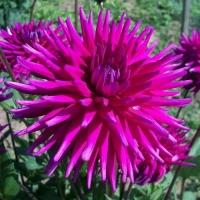 Георгина Purple Gem (Пурпл Джем)