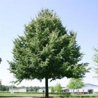 Липа американская (черная) (Tilia americana)