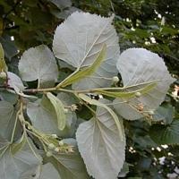 Липа войлочная (серебристая) (Tilia tomentosa)