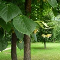 Липа обыкновенная (Тilia х vulgaris Hayne)