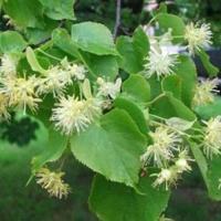Липа японская (Tilia japonica)