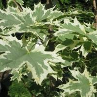 Клен остролистный Друммонди (Acer platanoides Drummondii)