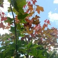 Клен остролистный Дебора (Acer platanoides Deborah)