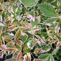 Клен ясенелистный Фламинго (Acer negundo Flamingo)