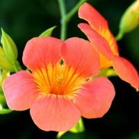 Кампсис крупноцветковый (Китайский)