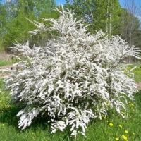 Спирея Вангутта (Spiraea х vanhouttei)
