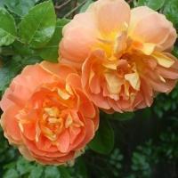Роза английская Пэт Остин (Pat Austin)