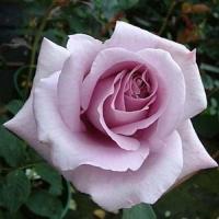 Роза чайно-гибридная Блю Мун (Blue Moon)