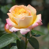 Роза чайно-гибридная Глория Дей (Gloria Dei)