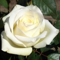 Роза чайно-гибридная Анастасия (Anastasia)